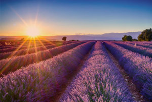 relaxing field of lavender